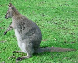 Red-necked-Wallaby.jpg