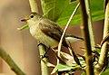 Red-throated Flycatcher Ficedula parva by Dr. Raju Kasambe DSCN6942 (6).jpg
