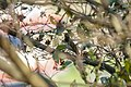Red-throated thrush in Nepal (2).jpg