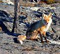 Red Fox (4395443980).jpg