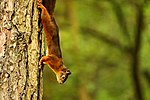 Red Squirrel - Newborough Forest, Anglesey (20660934029).jpg