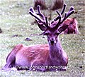 Red Stag in Velvet (32819333722).jpg