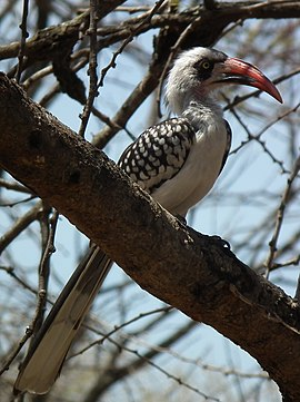 Red billed hornbill Tockus erythrorhynchus in Tanzania 2990 cropped Nevit.jpg
