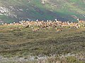 Red deer - geograph.org.uk - 37457.jpg