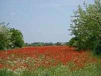 Red poppy - panoramio.jpg