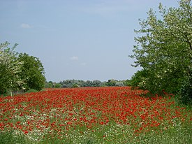 Red poppy - panoramio.jpg