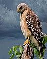 Redshoulderedhawks florida (17843384051).jpg