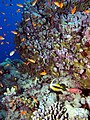 Reef scene with coralline algae (and fish and other stuff) (6159015964).jpg