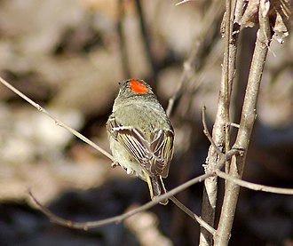 Ruby-crowned kinglet - Reverse view of male, showing the red crown