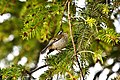 Regulus ignicapillus -Galicia, Spain -singing in a conifer tree-8.jpg