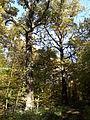 Rezerwat przyrody Dęby w Meszczach 201012 12.13 01.jpg