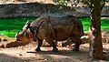 Rhino walking in Trivandrum zoo.jpg