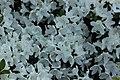 Rhododendron (27210249477).jpg