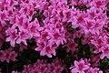 Rhododendron (42027738032).jpg