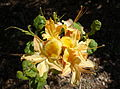 Rhododendron calendulaceum - Arnold Arboretum - DSC06671.JPG