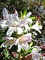 Rhododendron formosum (8590543463).jpg