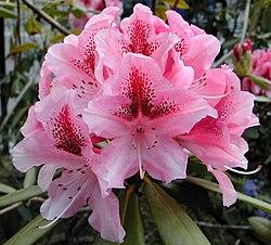 photo de rhododendron