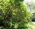 Rhododendron thomsonii - VanDusen Botanical Garden - Vancouver, BC - DSC07167.jpg