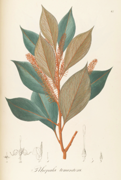 Rhopala tomentosa Pohl87.png