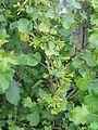 Ribes aureum (26607427152).jpg