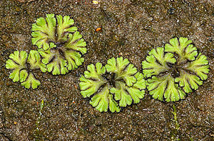 Rosette (botany) - Rosette growth form of the liverwort Ricciocarpos natans.
