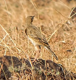 Richards pipit-Head turn.jpg