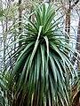 Richea pandanifolia fragment4.jpg
