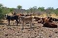 Rinder Farm Grünental.jpg