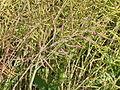 Ripe oilseed rape pods - geograph.org.uk - 474307.jpg