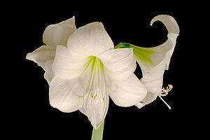 Blüte eines weißen Rittersterns
