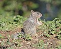 Rock Squirrel juvenile 01.jpg