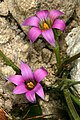 Romulea rosea 1DS-II 3-5930.jpg
