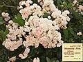 """Rosa """"Heavenly Pink"""" o LENnedi. 01.jpg"""