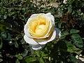 Rosa Chopin 2018-07-16 6265.jpg