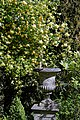 Rosa banksiae 'Lutea', Lady Banks' and garden vase at Myddelton House, Enfield, London 02.jpg