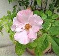 Rosa glauca inflorescence (16).jpg