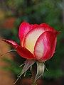 Rosa rosa-rossa.JPG