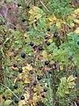 Rosa spinosissima fruit (24).jpg