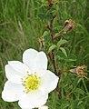 Rosa spinosissima inflorescence (74).jpg