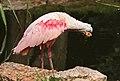Rosalöffler im Weltvogelpark Walsrode 2H1A7572WI.jpg