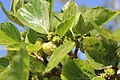 Rosales - Morus alba - 2.jpg