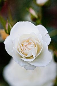 Rose, Iceberg (Schneewittchen)7.jpg