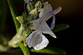 Rosemary (Rosmarinus officinalis) (8546082336).jpg