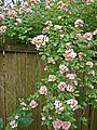 Roses over the back fence (273041697).jpg