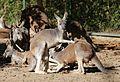 Rotes Riesenkaenguru Macropus rufus Tierpark Hellabrunn-8.jpg