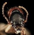 Rove beetle, U, Face, Upper Marlboro, MD 2013-08-21-16.34.44 ZS PMax (9639346589).jpg
