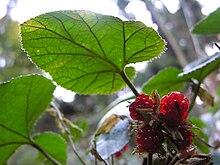 Rubus buergeri DSCN0581.JPG