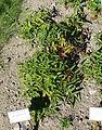 Rubus illecebrosus - Bergianska trädgården - Stockholm, Sweden - DSC00296.JPG