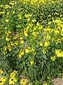 Rudbeckia laciniata (Compositae) plant.JPG