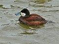 Ruddy Duck (Oxyura jamaicensis jamaicensis) (6950605320).jpg